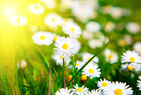Daisies in a meadow with sunlight photo
