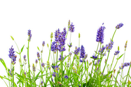 medicinal: flower of lavender on a white background