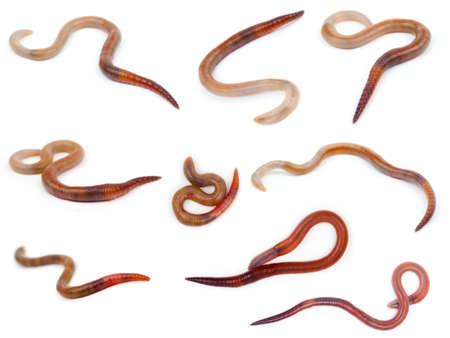 regenworm: Animal regenworm op een witte achtergrond