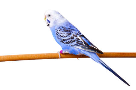 budgerigar on branch isolated on white background photo