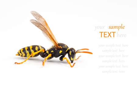 abdomen yellow jacket: wasp isolated on white background Stock Photo