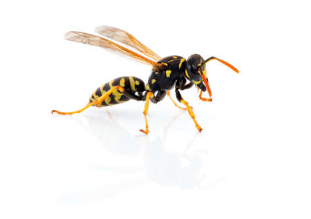 wasp isolated on white background Stock Photo - 18930672