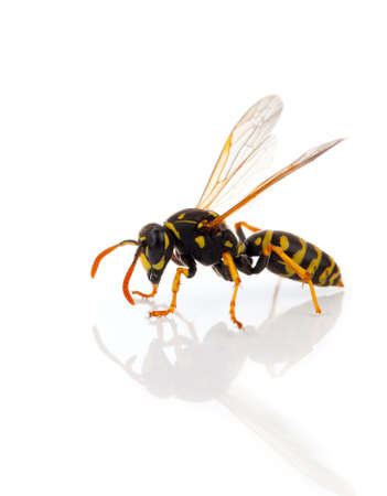 wasp isolated on white background photo