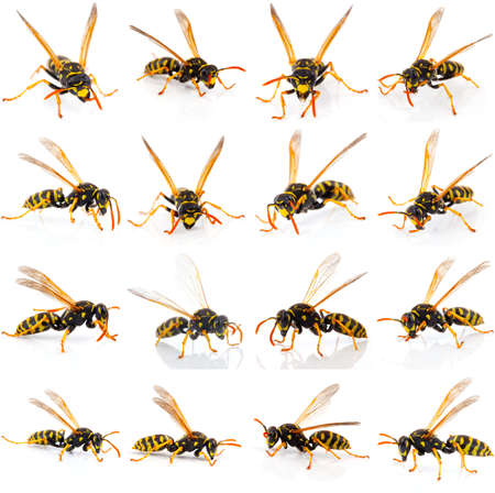 set of wasp isolated on white background photo