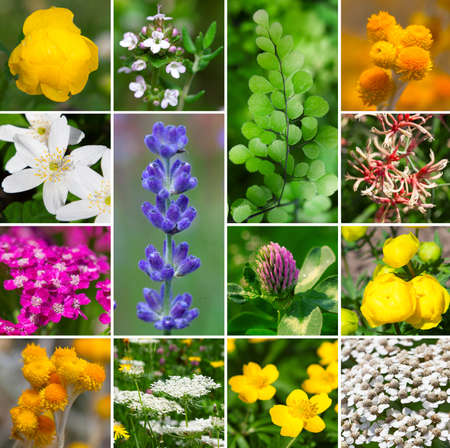 Fresh medicinal aromatic, plant, flowers - collection set photo