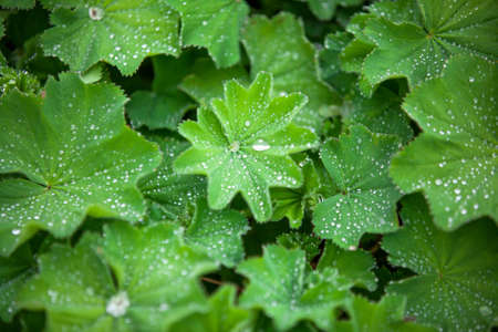 funnel shaped: green Astilboides leaves, shady flower bed with raindrops