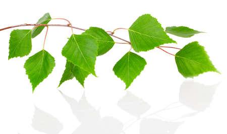 자작 나무 나뭇잎에 격리 된 흰색 배경.