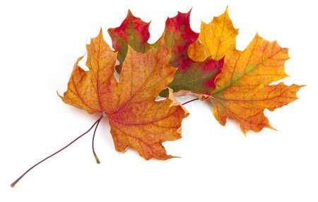 dode bladeren: esdoorn herfst bladeren ge Stockfoto