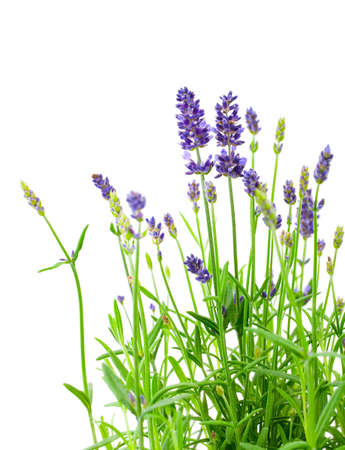 a bunch of lavender flowers on a white background Standard-Bild