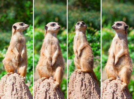 Meerkat suricata watching predators photo