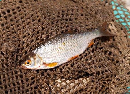 cypriniformes: Rudd is on a fishing net