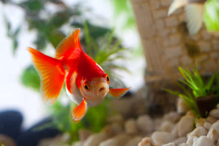 peces de colores: goldfish chupa una rocas en el acuario
