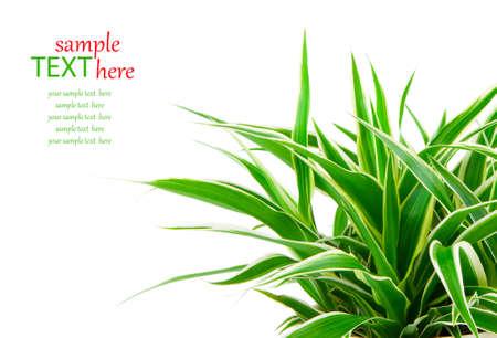 plantas medicinales: Chlorophytum - hoja perenne plantas con flores perennes en la familia Asparagaceae utilizado y cultivado como una planta medicinal