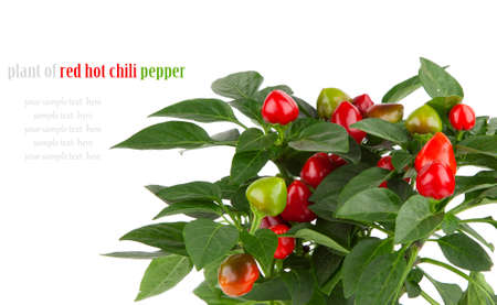plant of red hot chili pepper, on white background photo