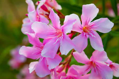 often: geranium are often used flowers for the balcony, Stock Photo