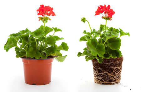 geranium are often used flowers for the balcony, isolated on a white background