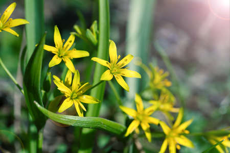 damp: Gagea is spring flowers, grows in damp deciduous woodland.