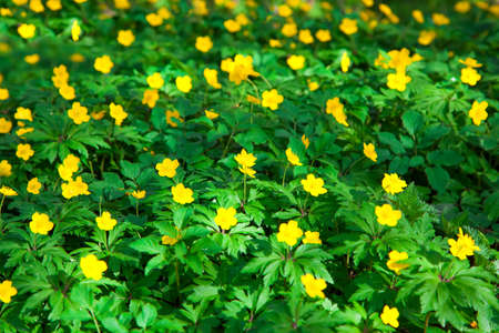 yellow buttercup flower the spring (Potentilla recta) photo