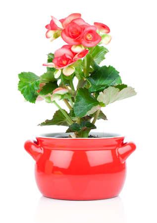 begonia: Flower blooming in a pot, red begonia. perennial flowering plants