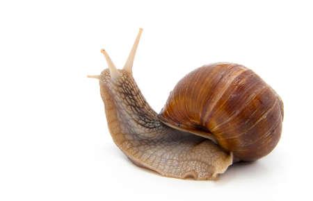 land slide: Garden snail on white background Stock Photo
