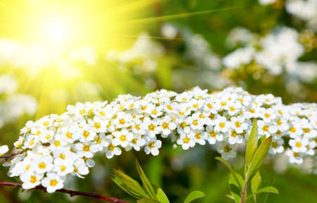 rosaceae: White Spiraea (Meadowsweet)  flowers early spring - shrub in the family Rosaceae. Stock Photo