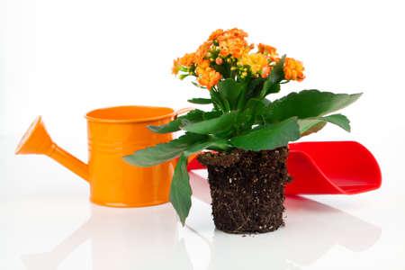 transplantation: Kalanchoe Calandiva Blumen f�r Transplantation