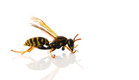 abdomen yellow jacket: wasp isolated on white background Stock Photo