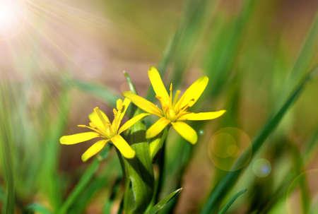 damp: Gagea � fiori di primavera, cresce in ambienti umidi boschi decidui. Archivio Fotografico