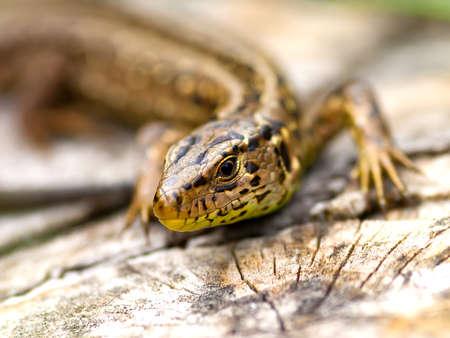 Sand Lizard (Lacerta agilis) photo