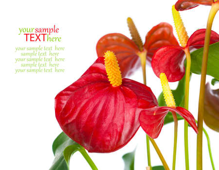Red anthurium flower isolated on white background. common names include anthurium, tailflower, flamingo flower, and laceleaf. photo