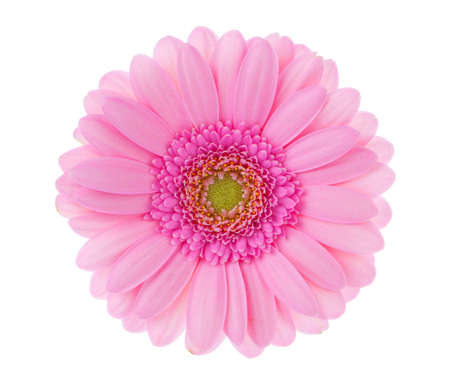 Red gerbera on white background. photo