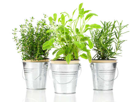 Sage, thyme and rosemary herb plant growing in a distressed pewter pot, isolated over white background. Salvia. photo