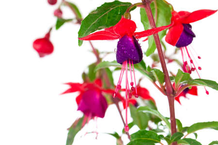 fuschia: blooming fuchsia (fuschia hybrida), isolated on a white background