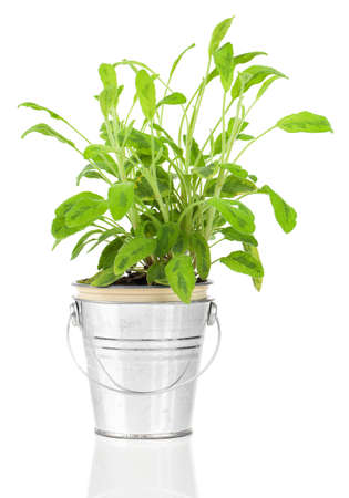 Sage herb plant growing in a distressed pewter pot, isolated over white background. Salvia. photo