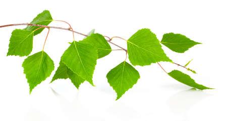バーチの木、白い背景で隔離の葉します。 写真素材