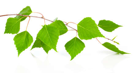 white birch tree: Birch leaves of the tree isolated on the white background.