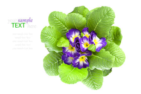 violet primula isolated over white background photo