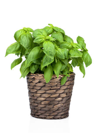 Basil Plant in Pot on White background photo