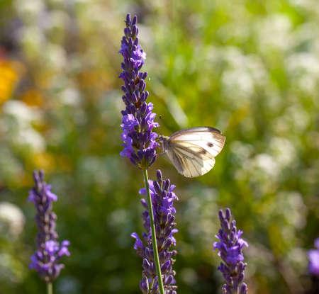Large White on Lavender flower photo