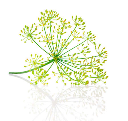 dill seed: Dill flower isolated on white