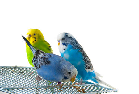 three budgerigars on cage, white background photo