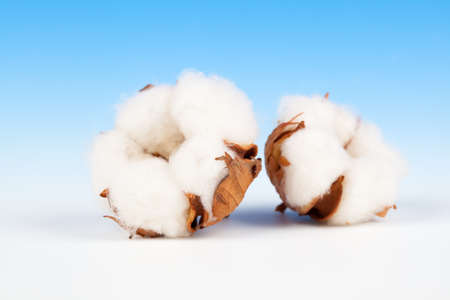 Cotton soft plant with reflection on blue background