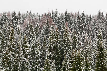 hoar: High mountain snowy spruce forest, covered by hoar frost and the mist