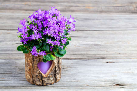 campanula: blue campanula flowers wooden background Stock Photo