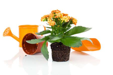 transplantation: Kalanchoe Calandiva Blumen f�r die Transplantation, auf wei�em Hintergrund Lizenzfreie Bilder