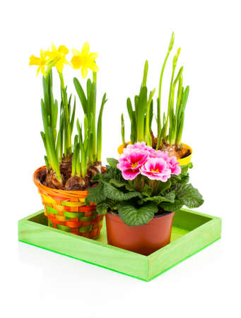 primulas: colorful spring flowers in pots on white background. pink primulas, yellow narcissus