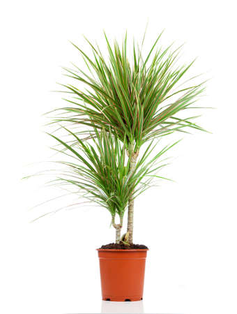 Dracaena in a pot on a white background