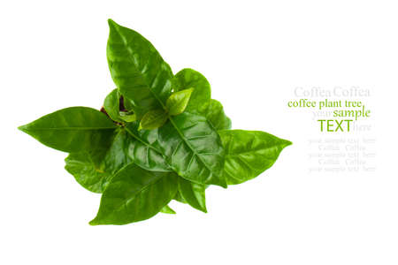 top view of coffee plant tree, isolated on white background Stock Photo