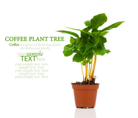 coffee plant tree growing seedling in soil pile isolated on white background photo