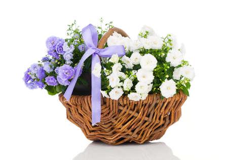 flor violeta: Flores azules y blancas de terry Campanula en la cesta de mimbre, aislados en fondo blanco
